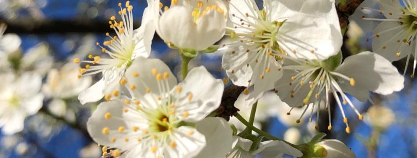 la fioritura degli alberi in primavera