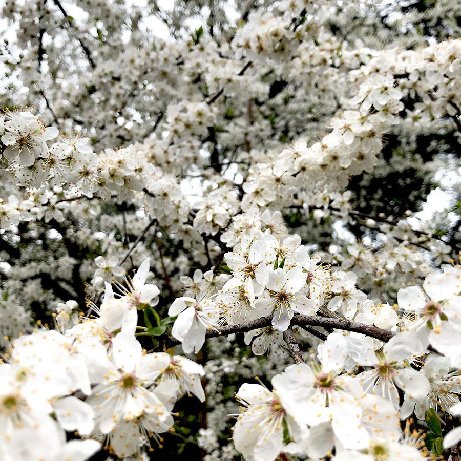fiori-ciliegio-primavera