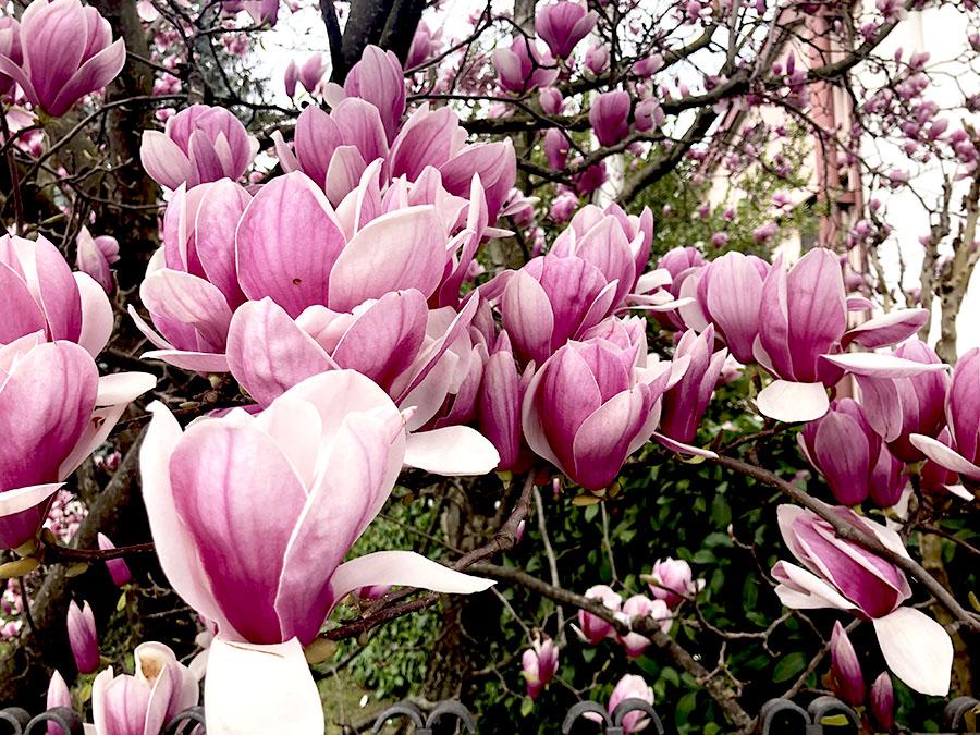 primavera e fiori rosa